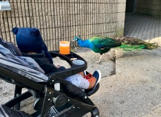 Zoo with Peacock '17